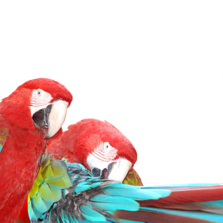 red  macaw parrot bird  isolated Stock Photo - 7922263