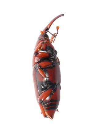 abietis: insect weevil snout beetle isolated on white Stock Photo