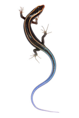 white headed: blue tail skink lizard isolated on white background