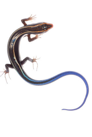 blue tail skink lizard isolated on white background