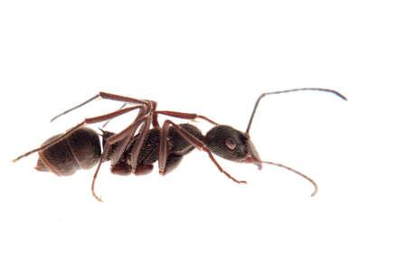 militant: ant isolated on white background Stock Photo