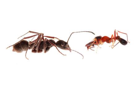 similitude: ant and ant mimic spider, Myrmarachne, isolated on white background