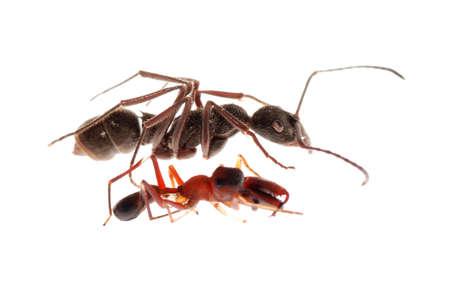 mimic: ant and ant mimic spider, Myrmarachne, isolated on white background