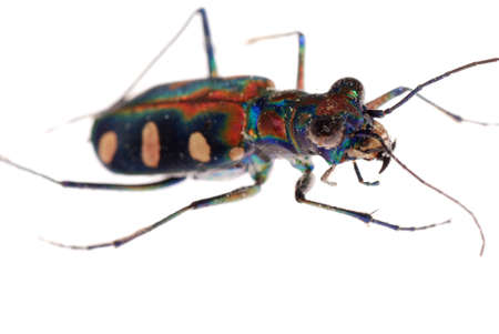 tiger beetle: insect tiger beetle isolated on white