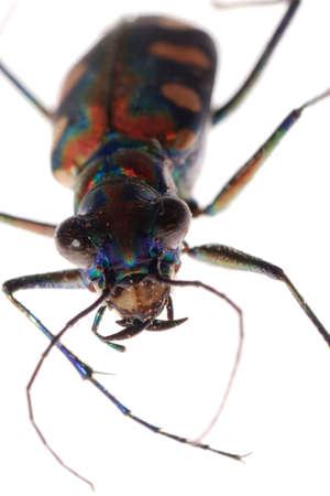 tiger beetle: insetto tiger beetle isolata on white Archivio Fotografico