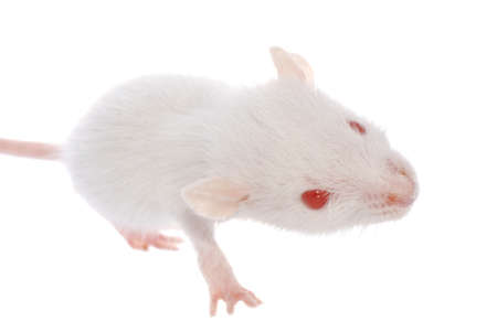 rat isolated on white background Stock Photo - 7921495