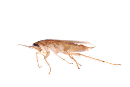 german cockroach isolated on white background photo