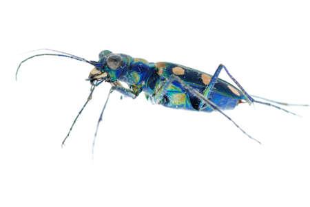 carabidae: blue tiger beetle isolated on white