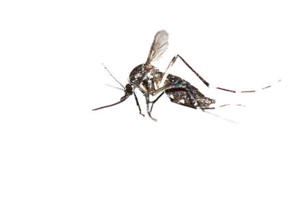 mosquito macro shot  isolated on white photo