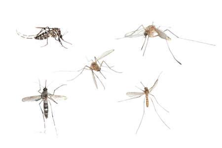 dengue: set di bug insetto zanzara isolato su sfondo bianco