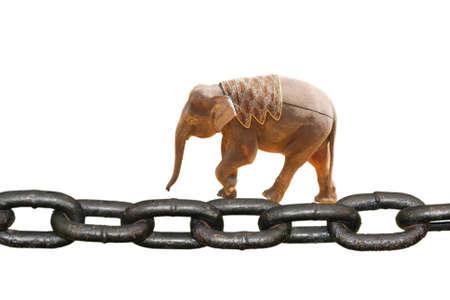 animal elephant walking on chain,isolated on white background photo