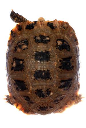 elongata Elongated tortoise isolated in white photo