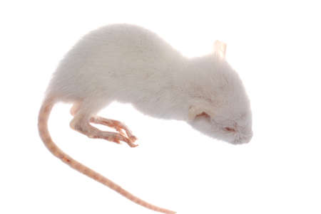 science animal white rat mouse isolated Stock Photo - 7921717