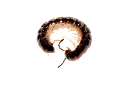 animal millipede isolated on white background photo