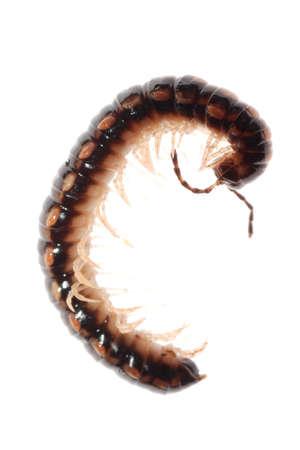 segmented bodies: animal millipede isolated on white background