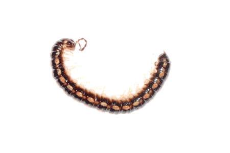 animal millipede isolated on white background photo