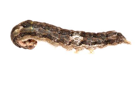 butterfly moth caterpillar larva isoalted on white background Stock Photo - 7921765