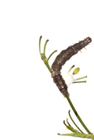 elpenor: butterfly moth caterpillar larva isoalted on white background