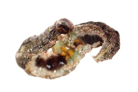 butterfly moth caterpillar larva isoalted on white background Stock Photo - 7921489