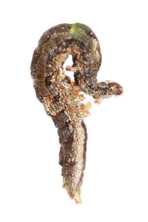 butterfly moth caterpillar larva isoalted on white background Stock Photo - 7921557