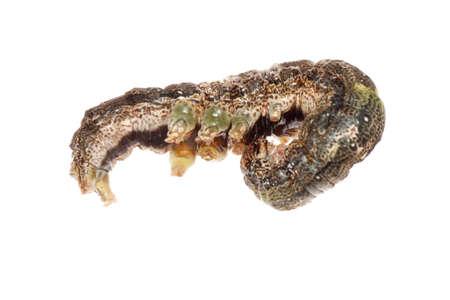 butterfly moth caterpillar larva isoalted on white background