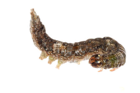 butterfly moth caterpillar larva isoalted on white background photo