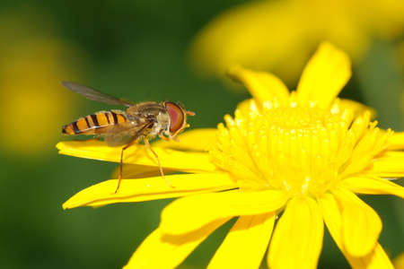insect bee fly on yellow flower photo