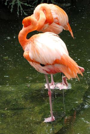 flamenco ave: Flamingo ave en el agua  Foto de archivo