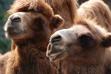 animal camel portrait close up Stock Photo - 7923202