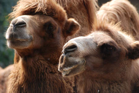 animal camel portrait close up Stock Photo - 7923202