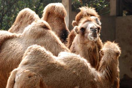 animal camel portrait close up Stock Photo - 7923071