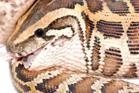 boa snake eat rat isolated photo