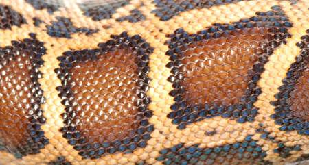 Natter: Boa Snake Skin Muster Textur Hintergrund  Lizenzfreie Bilder