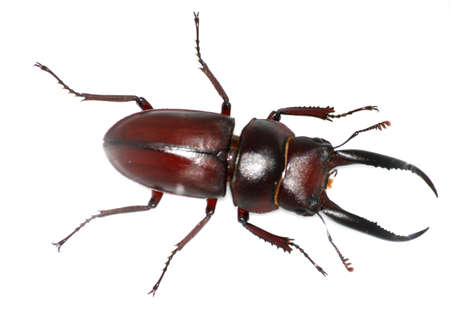 dead insect: insect stag beetle bug isolated in white Stock Photo