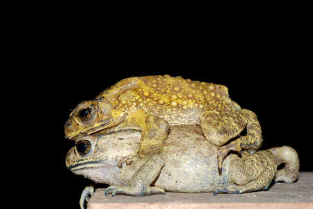 toad mating sex in nature photo