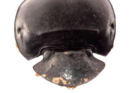 dung beetle head  macro isolated on white photo
