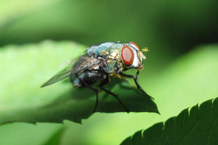 insect fly macro Stock Photo - 7987398