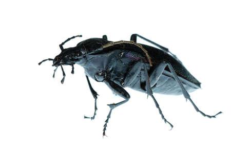 carabidae: insect ground beetle (Carabus prodigus)isolated in white background Stock Photo