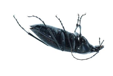 carabus: insect ground beetle (Carabus prodigus)isolated in white background Stock Photo