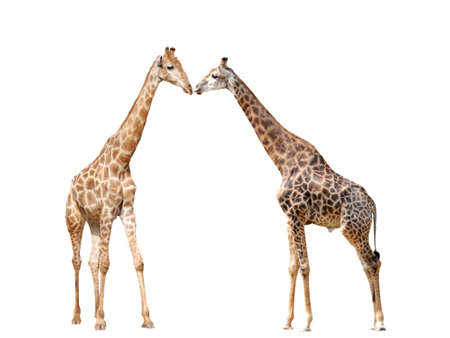 two giraffe isolated on white background photo