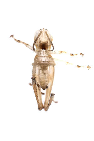 molting: insect grasshopper molt isolated on white background Stock Photo