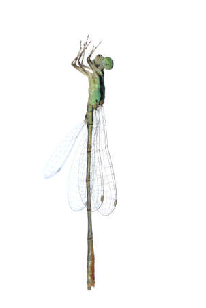 Dragonfly damselfly isolated on white background, studio shot photo