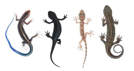salamander: Klettern Sie Tier Auflistsatz, Eidechse Skink Gecko Salamander Newt isolated on white  Lizenzfreie Bilder