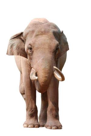 animal elephant isolated in white Stock Photo - 8043735
