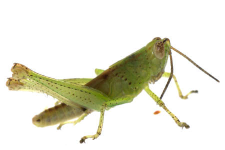 insect grasshopper isolated on white background photo