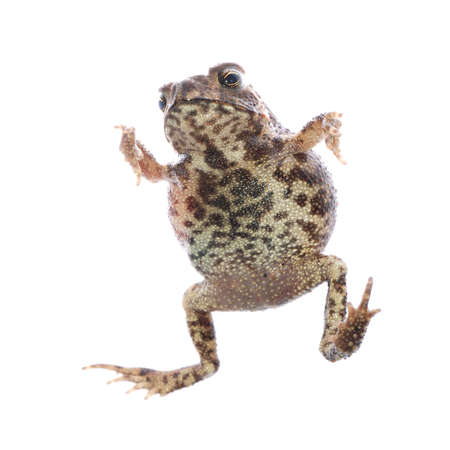 animal toad frog jump isolated on white photo