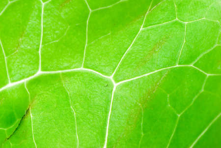 green vegetable lettuce leaf texture backgroun photo