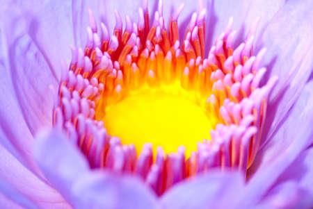 macro de flor de lirio de agua disparo
