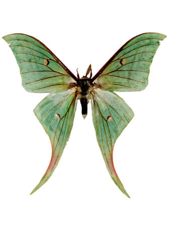 insect green luna moth isolated macro photo