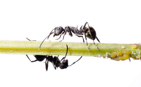macro de hormigas insectos